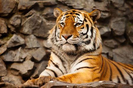 panthera tigris: Panthera tigris altaica male face closeup Stock Photo