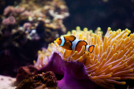 undersea: striped fish on coral reef