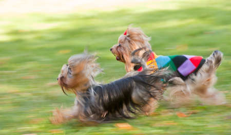 terrier: motion blurred picture of running dogs Stock Photo