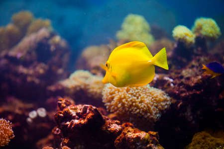 yellow fish on coral reef Stock Photo - 10843007