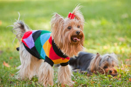 two small yorkshire terrier