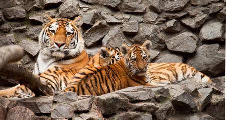 ussuri: ussuri tigers family mother and two child