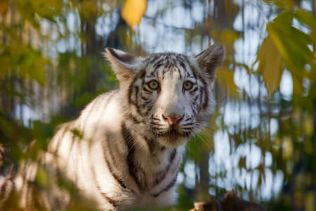 rare animals: small sad white tiger  in leafs Stock Photo