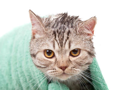 unhappy wet cat in green towel Stock Photo - 11888663