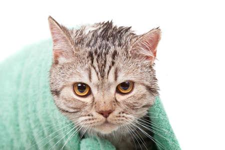 unhappy wet cat in green towel Stock Photo