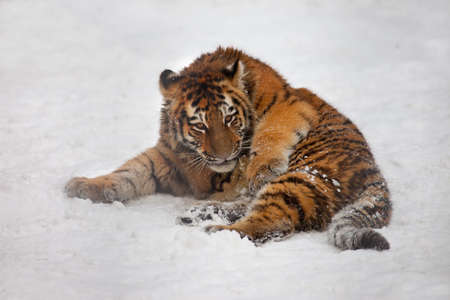 ussuri: young tiger lie on snow