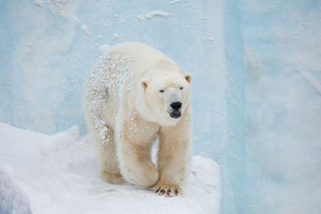 species: white bear stand on snow front shoot Stock Photo