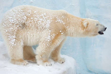 species: white bear stand on snow side shoot