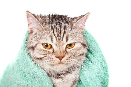 strandlaken: boze natte kat in groene handdoek Stockfoto
