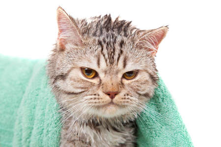 angry wet cat in green towel Stock Photo - 14928208