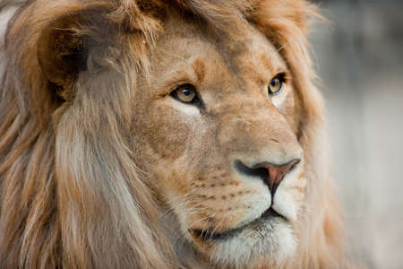 Lion head close up portrait photo