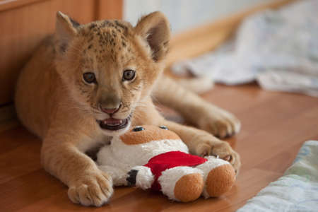 female lion: The world first hybrid of liger mother and lion father - Kiara in Novosibirsk zoo Stock Photo