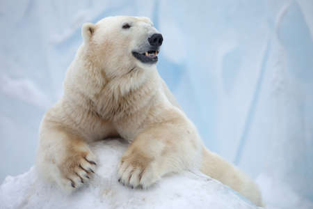 portrait of large white bear on ice