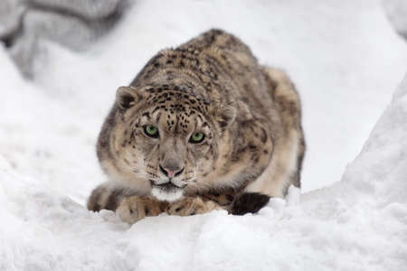 snow leopard: Snow leopard on ice Stock Photo