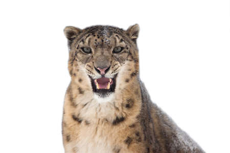 snow leopard: Snow leopard portrait isolated