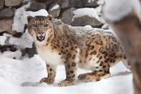 Snow leopard stand on snow photo