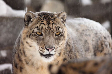 snow leopard: snow leopard looking at camera
