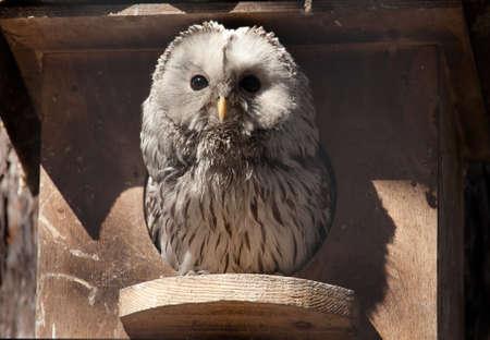 owl sit in nesting box