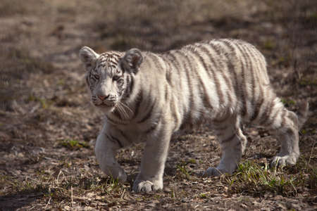 six month old: small white tiger around six month old Stock Photo