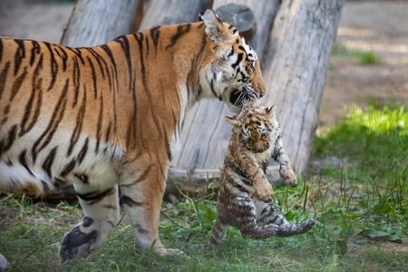 Tiger mother carrying her cub in mouth 스톡 콘텐츠