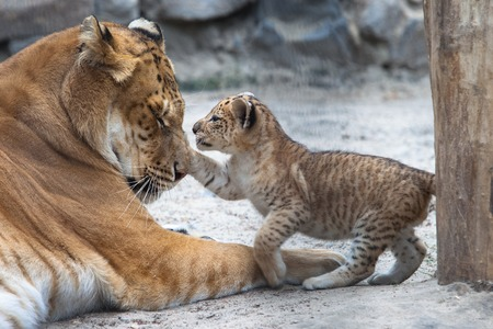 Small liger cub playing with his mother Stock Photo