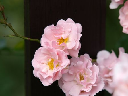 dearest: Pink Rose