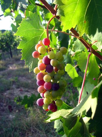 Bunch of ripe grapes Stock Photo - 6770334