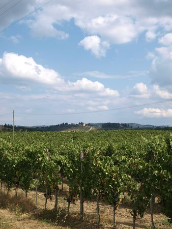 chiantishire: Vineyard - one of the biggest riches Tuscany