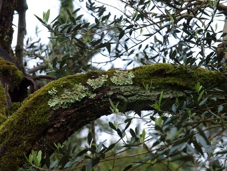 Very old olive tree detail  photo