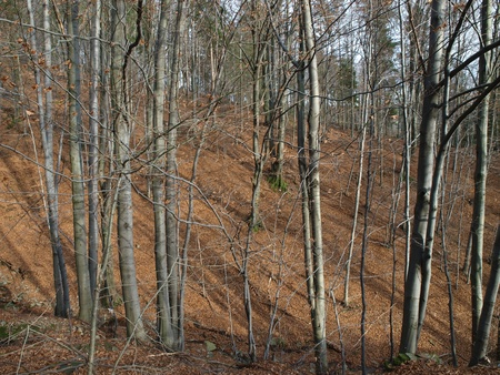 silver-beech tree trunks against the dry leaves Stock Photo - 8217702
