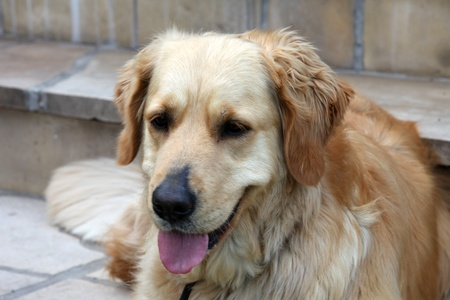 labrador teeth: beautiful golden retriever