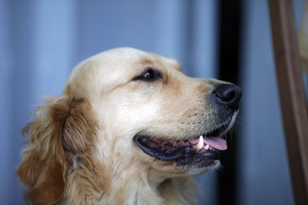 labrador teeth: the golden retriever is a very popular breed of dog.