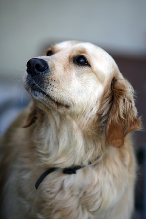 the golden retriever is a very popular breed of dog. photo