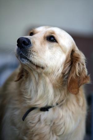 labrador teeth: the golden retriever is a very popular breed of dog.