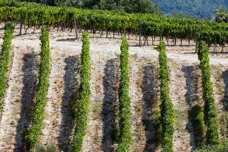 antimo: best tuscan vineyards around Montalcino and San Antimo