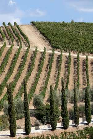 best tuscan vineyards around Montalcino and San Antimo photo