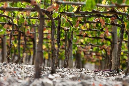 best tuscan vineyards around Montalcino and San Antimo Stock Photo - 11255303