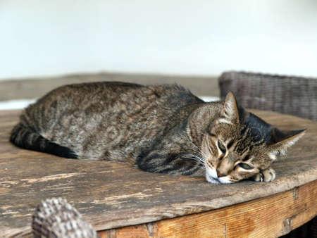 kurilian bobtail: The charming, gray kitten during sleep Stock Photo