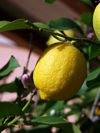 adjuvant: Lemons growing on lemon tree