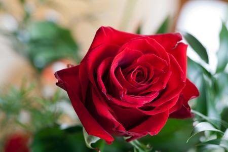 rosas rojas: rosa roja
