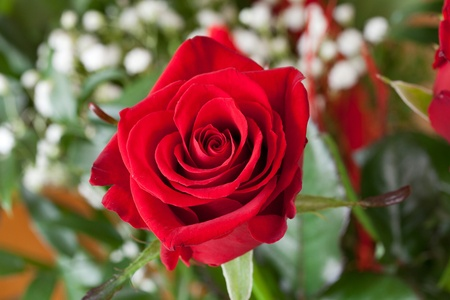 red rose Stock Photo - 13282849