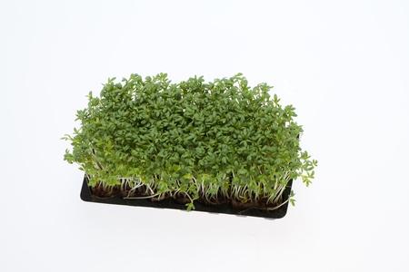 Cress seedlings isolated on white backgroun photo