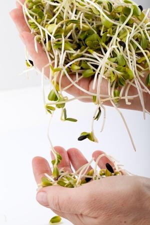 Fresh alfalfa sprouts isolated on white background 版權商用圖片