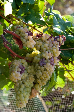 White grapes in the vineyard  photo
