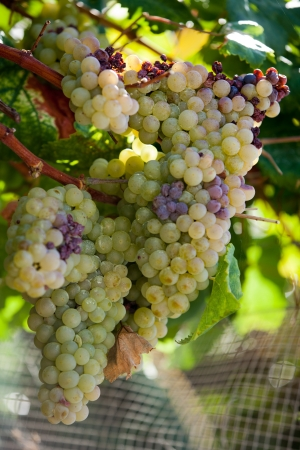 ripening: White grapes in the vineyard