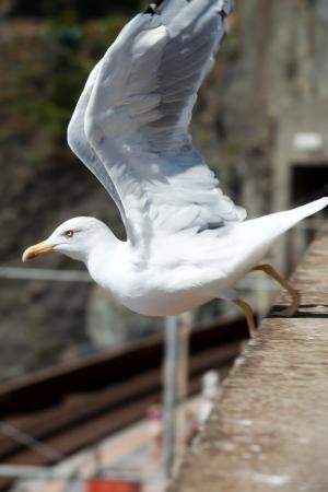 Seagull in Cinque Terre. Liguria photo