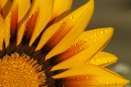 Beautiful Gazania Flower after Rain photo