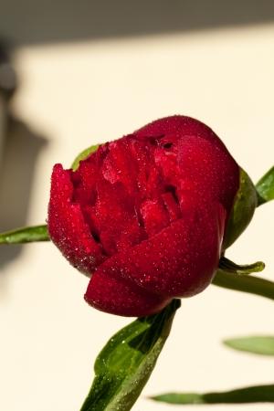 bud of peony flower after rain photo