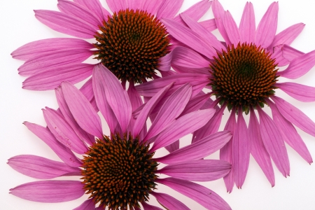 Pink coneflower head, isolated on white background Stock Photo - 14499295