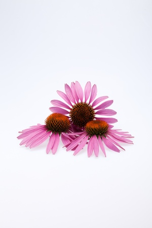 Pink coneflower head, isolated on white background Stock Photo - 14549325